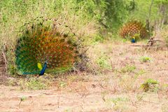 Two Peacocks Pavo cristatus Displaying their Beautiful Tail Feathers in Front of Each Other. A beautiful display as two male Indian or Blue Peafowl Peacocks stock photo