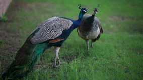 Two peacocks walk in the park in the summer. And kiss stock video footage