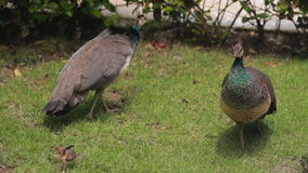 Two peacocks walking on the grass stock video footage