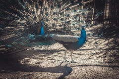 Two peacocks at the zoo show off to each other Stock Photo