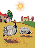 Two pearl-hens pecking. In the farmyard Stock Images