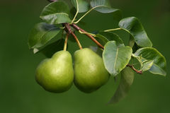 Two Pears. On the green background Royalty Free Stock Photos