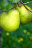 Two Pears. With the natural green background royalty free stock photos
