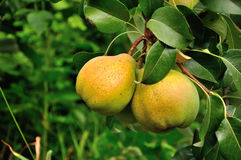 Two pears  on the branch Royalty Free Stock Photo