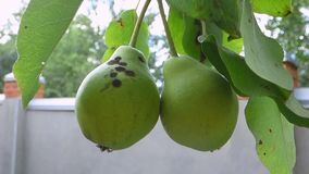 Two pears. Two green pears. Close-up stock footage