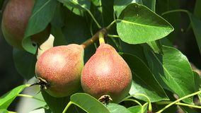 Two pears hanging on a branch. In the garden stock video