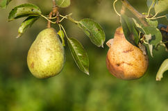 Two Pears. One good and one sick. Concept for good and bad constrast. Picture taken by double exposure technique royalty free stock photo