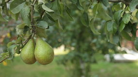 Two Pears on tree branch in leaves stock video footage