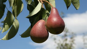 Two pears on a tree. Two pears hanging on a tree stock video footage