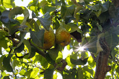 Two pears in the tree with the sun Royalty Free Stock Photography