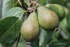 Two pears Stock Images