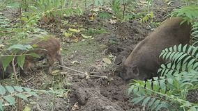 Two peccary pigs scratching the ground. Some peccary pigs scratching the ground for food stock footage