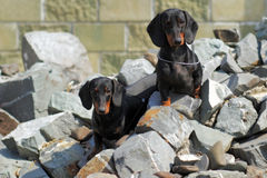 Two pedigree dogs German smooth-haired Dachshund sitting on rock Royalty Free Stock Photography