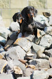 Two pedigree dogs German smooth-haired Dachshund sitting on rock Royalty Free Stock Image