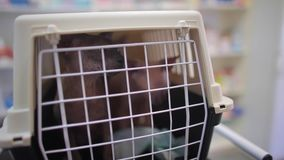 Two pedigreed cats are in a cage for transportation of animals. Sphynx breed.