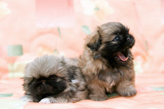Two pekingese stock photo