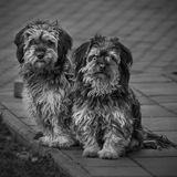 Two pekingese, black and white. Two pekingese looking straight to camera. Photo in black and white. Young dogs royalty free stock images