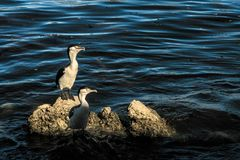 Two pelican bird sits on the rocks royalty free stock photography