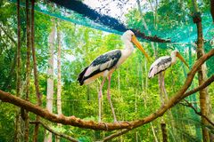 Two pelican birds at Vinpearl Safari Phu Quoc park with exotic flora and fauna, Phu Quoc, Vietnam. Two pelican birds at Vinpearl Safari Phu Quoc park with exotic Stock Photo