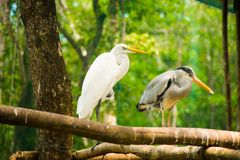 Two pelican birds at Vinpearl Safari Phu Quoc park with exotic flora and fauna, Phu Quoc, Vietnam royalty free stock images