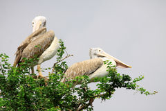 Two Pelican on green tree Royalty Free Stock Photo