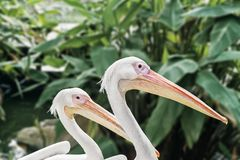 Two pelican head shot isolate with green background royalty free stock photography