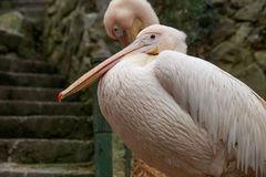 Two pelican. Royalty Free Stock Images