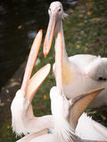 Two pelican standing with open beak Stock Photography