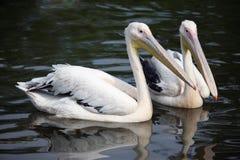 Two pelican swim Stock Photo