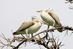 Two Pelican on tree dry Stock Image