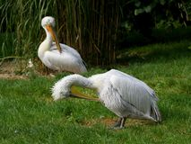 Two Pelicans Stock Photos