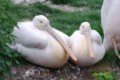 Two pelicans. Sitting on the grass Royalty Free Stock Photography