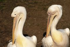Two pelicans Stock Photo