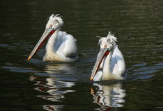 Two Pelicans Royalty Free Stock Photography