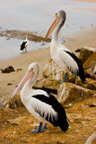 Two Pelicans Royalty Free Stock Images
