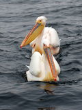 Two pelicans. Two pelican swimming one after the other Royalty Free Stock Photos