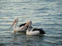 Free Two Pelicans At Illawarra Lake Royalty Free Stock Photos - 25266418