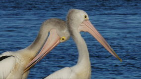 Two pelicans stock footage