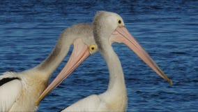 Two pelicans. Two australian pelicans on a pier stock footage
