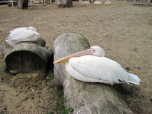 Two pelicans. Two big pelicans resting on wood stock image