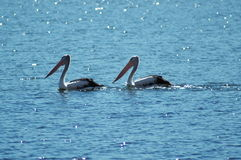 Two Pelicans. On Blue Water royalty free stock photography