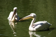 Two pelicans close together. In lake water royalty free stock photo