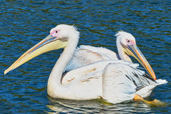Two pelicans floating on the lake Royalty Free Stock Photos