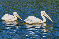 Two pelicans floating on the lake Royalty Free Stock Photography