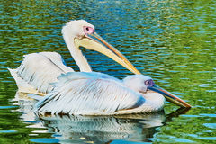 Two pelicans floating on the lake Stock Photo