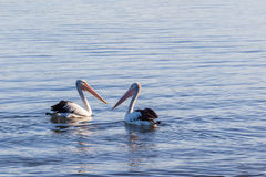 Two pelicans floating in the ocean. Royalty Free Stock Photo