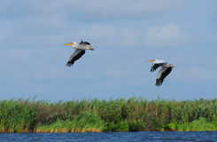 Pelicans flying. Two pelicans flying - Danube delta Royalty Free Stock Images