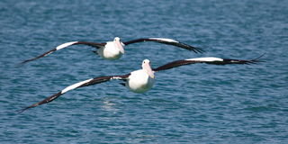 Two pelicans flying in formation Royalty Free Stock Photos