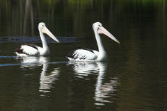 Two Pelicans - Follow the Leader Royalty Free Stock Photography