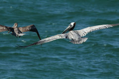 Two pelicans gliding over the Gulf of Mexico in Florida. Royalty Free Stock Photography
